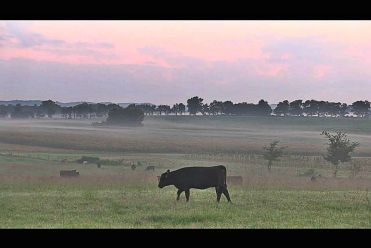Angus Cattle in Pasture Tennessee