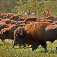 Podcast 018 - Bison Ranching with National Bison Association