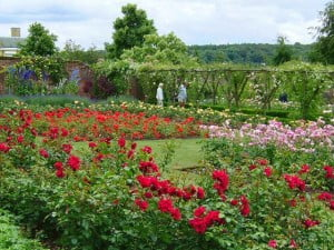 Maintaining-Your-Rose-Garden-