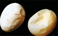 Egg Shell Defects: Thin-shelled eggs and shell-less eggs
