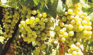 Well tended grape vines can produce tons of fruit