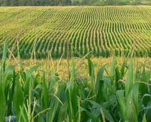 farm-field-corn-agriculture-cool-calculator-institute-unilever-fishhawk