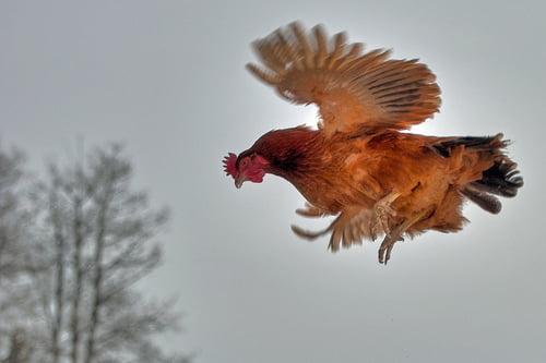 Flying Chickens
