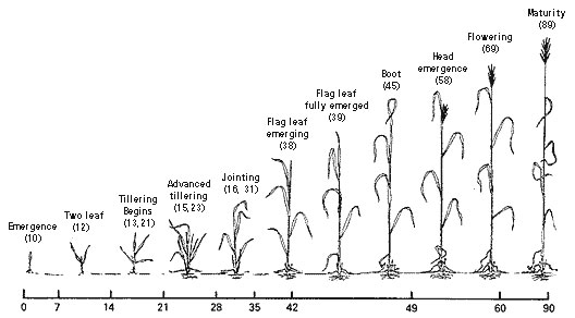 Wheat Growth staging systems