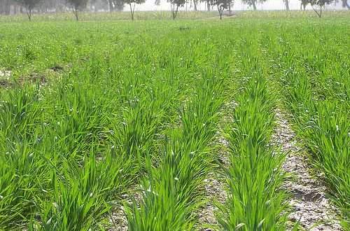 Wheat Growth And Development  U2013 Agrihunt