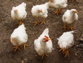 white chicken walking on the ground