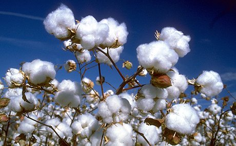 Problems and solutions of cotton in Pakistan