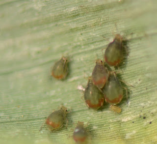Figure 1. Bird-cherry oat aphids on a corn leaf. Note the dark color and red coloration around the cornicles.
