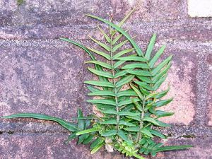 The Chinese brake fern or ladder brake fern (Pteris vittata) growing on a brick wall in Chatswood, Australia. Photo by Peter Woodward via Wikipedia