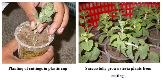 stevia planting