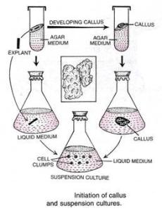 callus culture