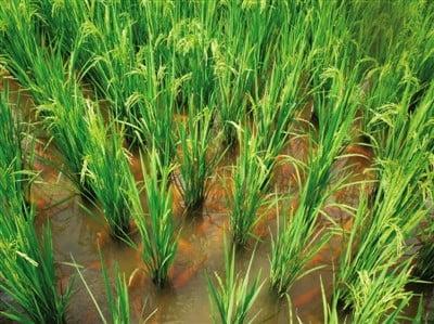 Aquaponics can increase the paddy farm income
