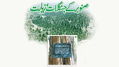 صنوبر کے نایاب جنگلات