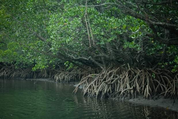 black-mangroves
