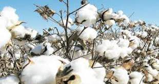Cotton-prices-rise-fall