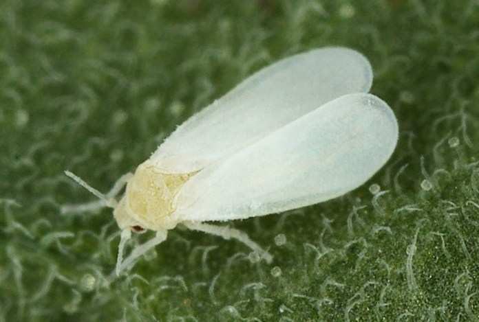 BIOLOGICAL CONTROL OF WHITEFLY