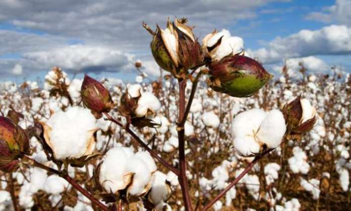 Cotton Production Under Changing Climatic Conditions in Pakistan