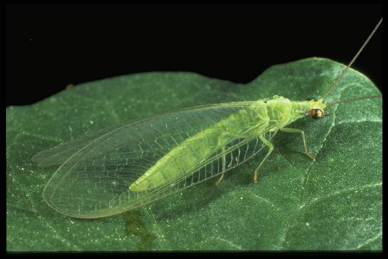 Green Lace Wing (Chrysoperla carnea) ; A Biological Control Agent