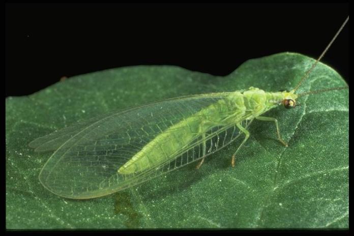 Green-Lace-Wing-Chrysoperla-carnea-A-Biological-Control-Agent-by-saad-ur-rehman-malik