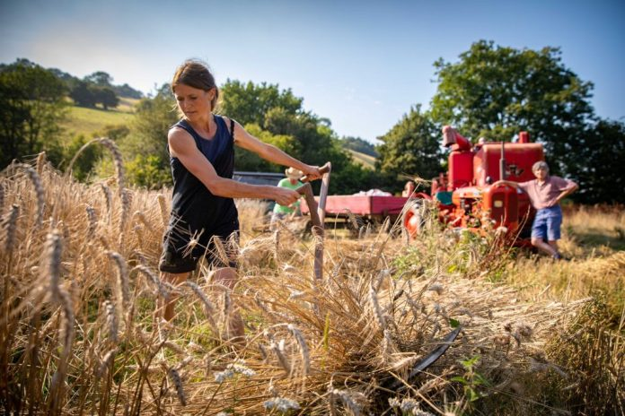 Making the New Varieties of Wheat