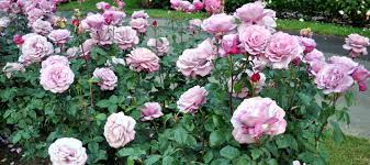 IMPORTANCE OF ROSES AND INFLUENCE FOLIAR SPRAY OF MACRO AND MICRONUTRIENTS ON ROSES