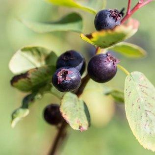 Lobell_amelanchieralnifolia_berry