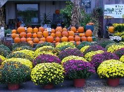 Fall Garden Mums Chrysanthemums Urban Program Bexar County