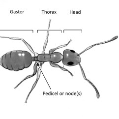 Ant Parts Diagram 2000 Honda Civic Dx Stereo Wiring Identifying Household Ants Insects In The City