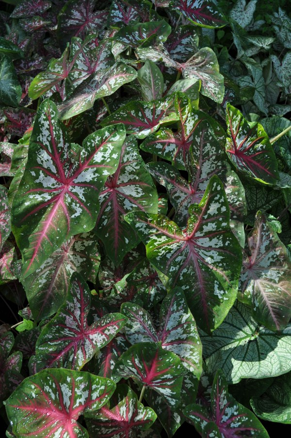trial results 2013 caladiums