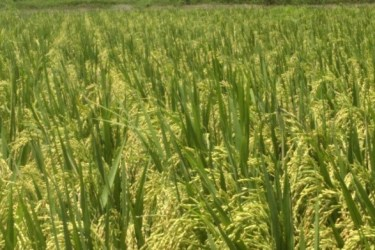 Gobinda's spring season SRI, Chaita 2 (10.2 t/ha yield)