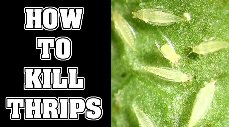 agrinfobank thrips