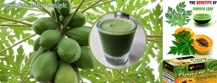 Papaya Leaf: Benefits and How To Use It