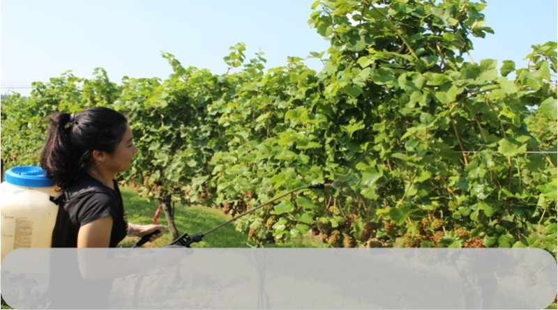 Physio-Biochemical and Growth Response of Grapes to Foliar Application of Glycine Betaine