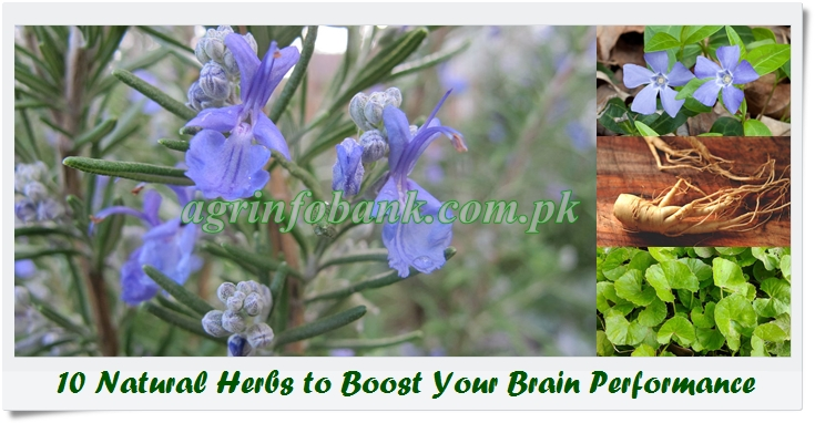 10 Natural Herbs to Boost Your Brain Performance