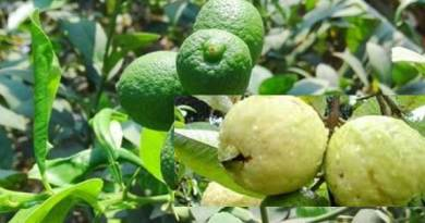 Guava it's Diseases and their Management
