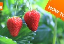 How to grow & harvest strawberry plants