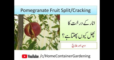 Fruit Cracking in Pomegranate
