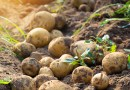 Adaptation of highly nutritious 'Papa Criolla potatoes' in Pakistan