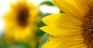 Sustainable management of helicoverpa armigera hubner on sunflower, helianthus annus l.