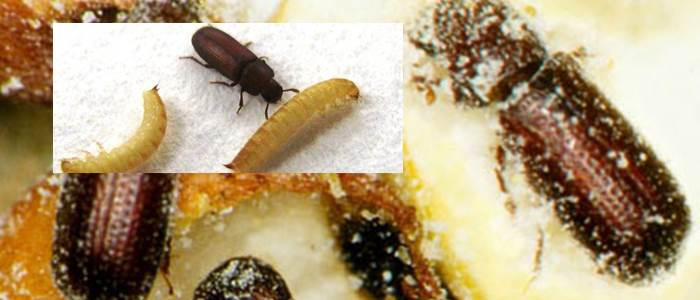 Organic management of pest insects in stored wheat