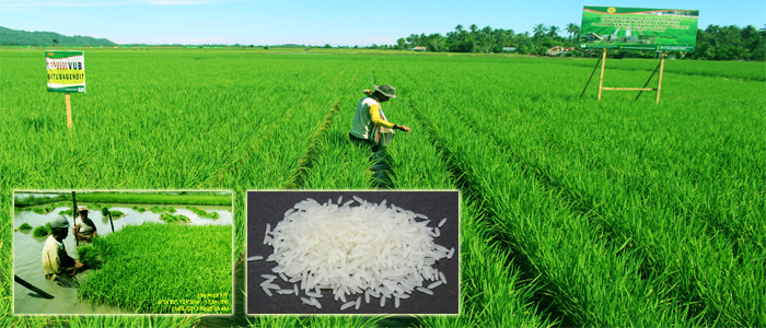 Vietnam masters rice-seed production technology