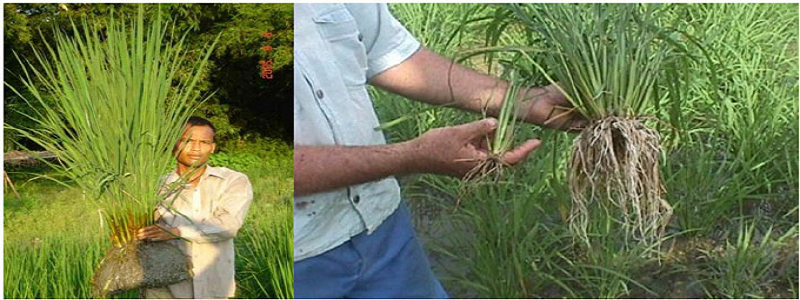 System of rice intensification: a beneficial option