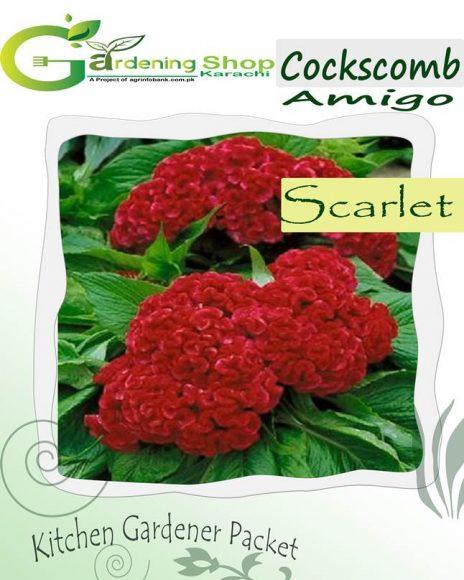 Cockscomb Amigo Scarlet