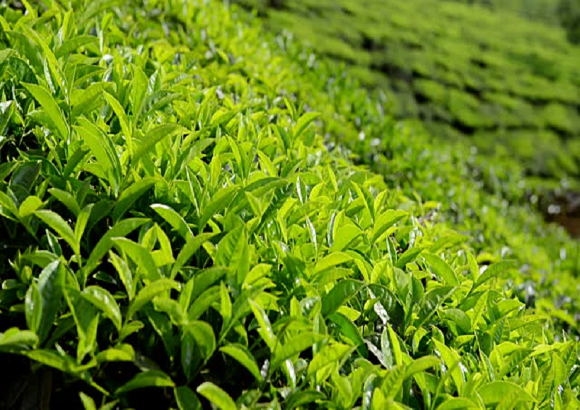 Tea Cultivation Technology