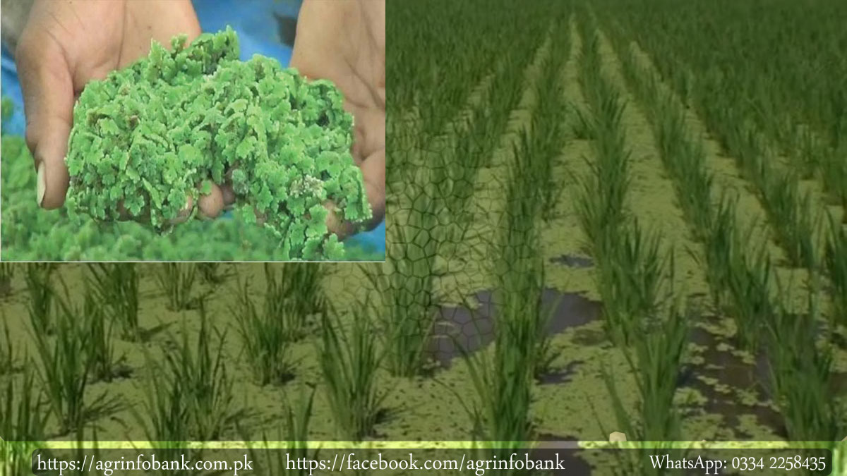 Azolla Benefits, Uses, Role, Importance in Rice Production