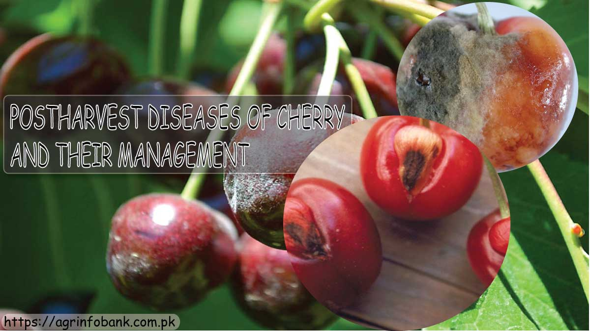 POSTHARVEST DISEASES OF CHERRY AND THEIR MANAGEMENT