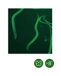 Heterorhabditis bacteriophora cool (ab 8°C)