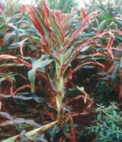 Blog-AgriQ-Enfezamento-Vermelho