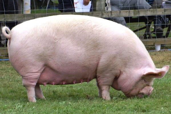 commercial pig farming business 8