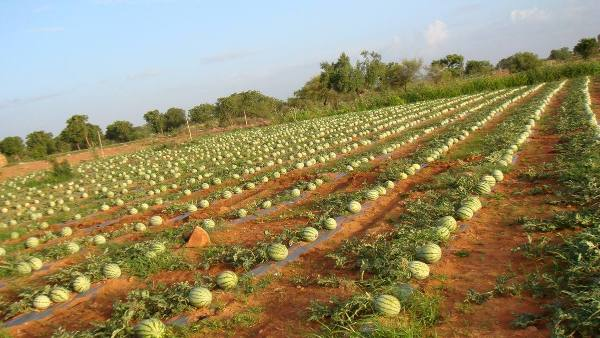 A large watermelon farm for watermelon farming